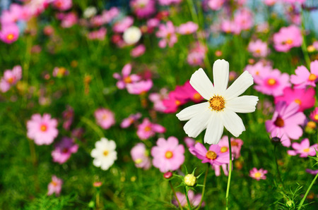 Cosmos sulphureus is also known as Sulfur Cosmos and Yellow Cosmos. It is native to Mexico, Central America, and northern South America, and naturalized in other parts of North and South America as well as in Europe, Asia, and Australia.