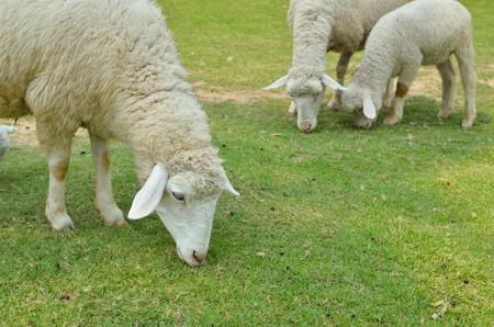 The Sheep on a farm outdoor Stock Photo