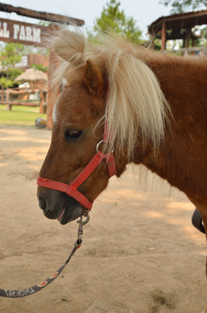 Dwarf horse in a farm, northern of Thailand Stock Photo