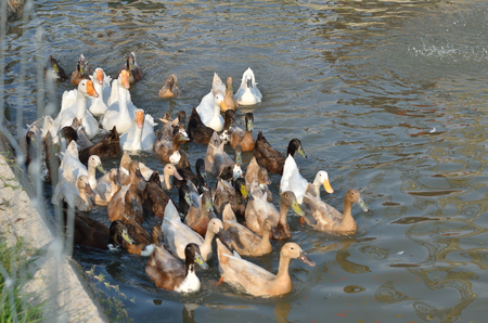 Many white and gray duck swimming at the pond Stock Photo