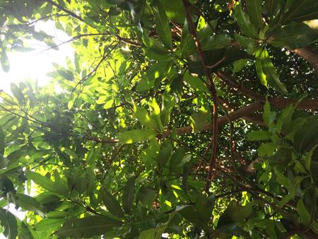 Mango leaf and sunlight Foto de archivo