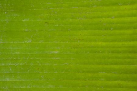The lines of  banana tree Texture