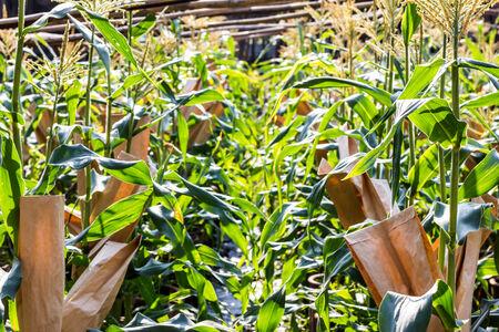 mais: corn Research Stock Photo