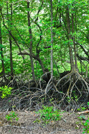 mangrove forest: mangrove forest conservation area in rayong, thailand