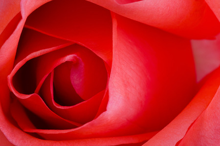 macro flower beautiful rose for a background image Imagens