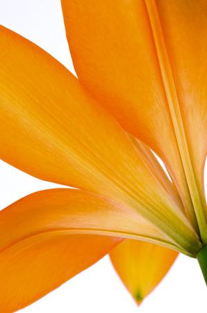 oranje lelie: closeup oranje lelie op een witte achtergrond