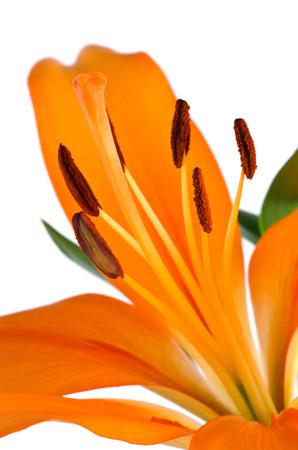 oranje lelie: closeup oranje lelie geïsoleerd op een witte achtergrond Stockfoto