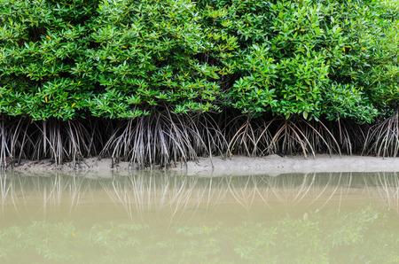 mangrove forest prevent coastline corrosion in hailand