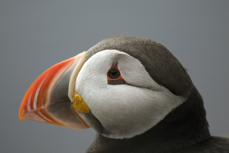 A portrait of an atlantic puffin. Stock Photo