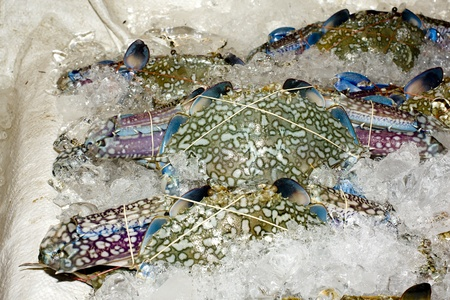 blue swimmer crab: Blue Swimmer Crab  Lay on Ice  Show Detail on Carapace