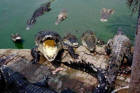 dreadful: The Crocodile in Animal Farm,Eerie Fang and Eyes Look dangerous  Stock Photo