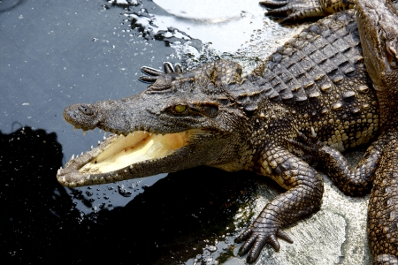 fang: The Crocodile in Animal Farm,Eerie Fang and Eyes Look dangerous  Stock Photo