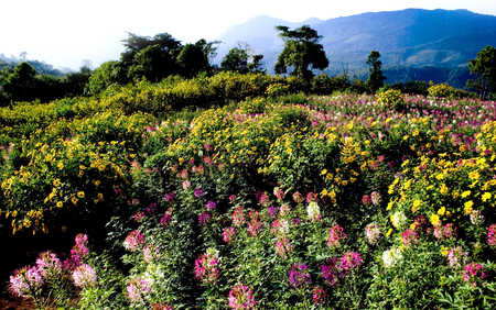 whote: Spider Flower Field view  Mexican Flower and Blue Mountain at background  Whote Sky at Midday
