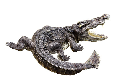 showed: Crocodile gnarr  showed his teeth. Stock Photo
