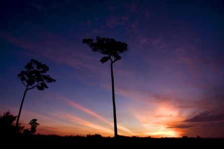 Shape of Silhouette Tree on Sky and white Cloud at sunrise  photo