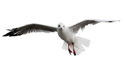 spread legs: Seagull fly on white sky show spread the wings.Red legs and red neb.