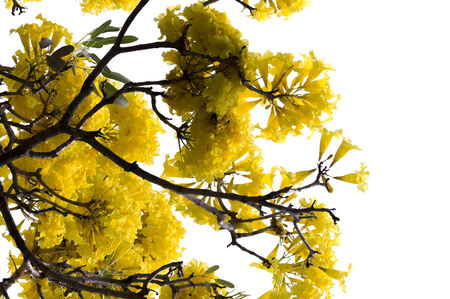 middle america: Yellow flower from middle america and south america is Yellow Cotton Tree on white isolate background