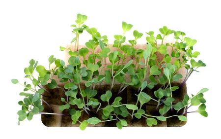 hydroponics: Young hydroponics plant on isolate background Stock Photo