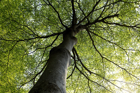 towering: Towering Branches Shape of lofty big tree.Worms eye shot.Show lofty Branches. Yellow and green left in summer. Stock Photo