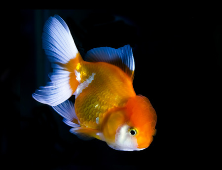 saturate: Goldfish in Aquarium.Fish and water are saturate colour with display colour lighting.  Stock Photo