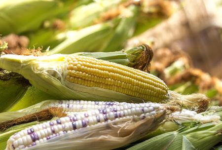 fodder corn: Sweet Corn and Indian Corn show seed  lay on pod corns. Stock Photo
