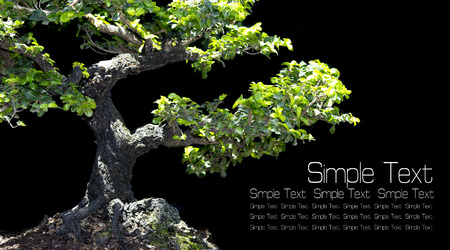 Bonsai, dwarfed tree on black background with Simple Text area.