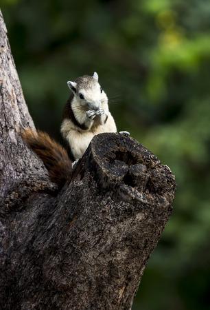 clamber: Piccolo Chipmunk si siede su albero cavallo, in stretta della mano qualcosa da mangiare, sfondo verde con fuori fuoco. Archivio Fotografico