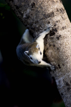 Squirrel climb down tree.Forward  look fixedly.Dark background.
