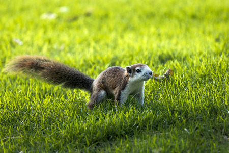Squirrel run in grass field .Background and Foreground are grass out of focus. 版權商用圖片