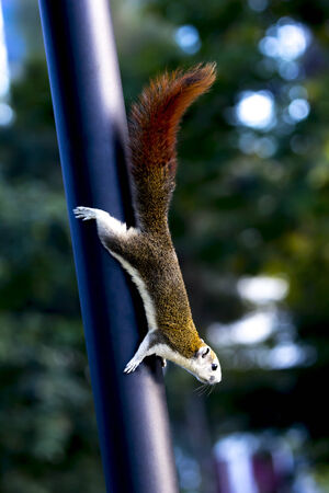 Squirrel climb down pillar.Forward  look fixedly at something.Green dark background and cookies lighting. 版權商用圖片