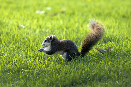 Squirrel eat fruit. Sit in grass.Background and Foreground are grass out of focus.