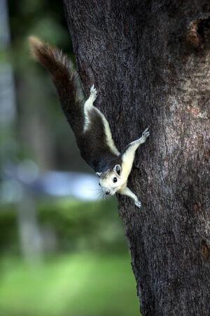 Squirrel climb down tree.