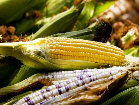 maíz: Ma�z dulce y mostrar Ma�z indio seed.Lay en callos vaina verde.