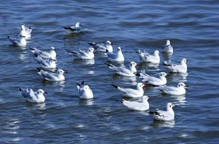 Full float seagull crowd the blue sea.A little ripples. Stock Photo