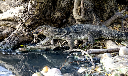 gobble: Water Monitor snap fish. It gobble up fish and climb to waterside. Stock Photo