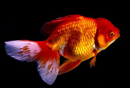 goldenfish: Goldfish swim in aquarium box.Saturation color by fancy lighting.