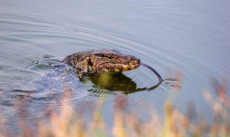 gobble: Water Monitor swim in pool.Tread water with only head showing.Snatch tongue.