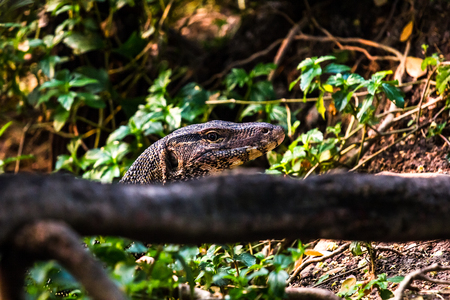 gobble: Water Monitor swim in pool.Tread only head showing.Hide at back log. Stock Photo