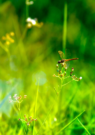 settle: Dragonfly settle upon flower over green background.Background has sun spot. Stock Photo