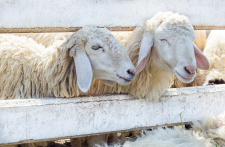 feed up: Close up sheep in farm. Wait for feed in showing farm.