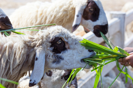 voile: Close up sheep in farm. Wait for feed in showing farm.