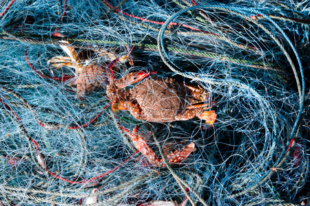 blue swimmer crab: Blue crab in fishnet just from sea.