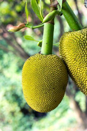jack fruit: Jack fruit hang on stem in garden.Close up shot