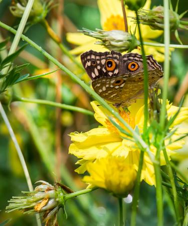 bunchy: Mariposa chupar el n�ctar de cosmos amarillo ramo en el parque.