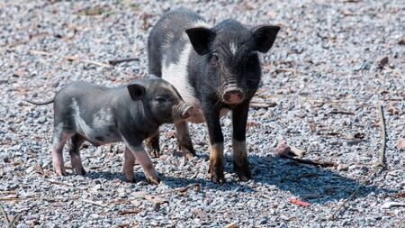 Two young piglets stand and look for anything. Stock Photo