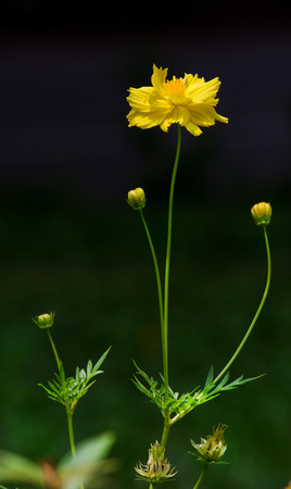 bunchy: Yellow cosmos in garden.Background is out of focus. Stock Photo