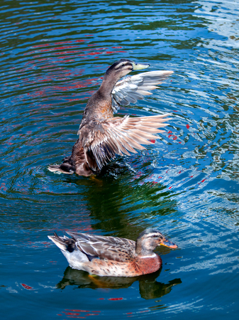 water wings: Duck waving wings on the pond. The water in the reflection of colorful blue. Stock Photo