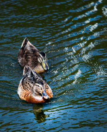 two ducks: Two ducks swim in pond. Blue water and wave reflection on water surface.