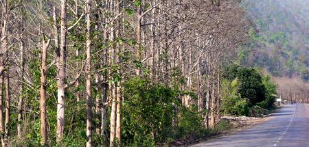 scarp: Para rubber plantation in Laos,fall leave, at summer season. Stock Photo