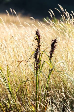 waver: Savannah grass field in sun backlight, Grass waver with summer win blow, Twinkle with sunlight at noon.